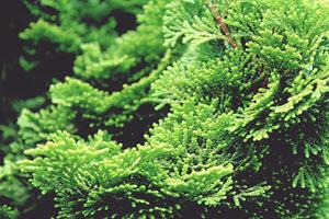 Hinoki-cypress-tree
