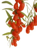 ningxia wolfberries on vine
