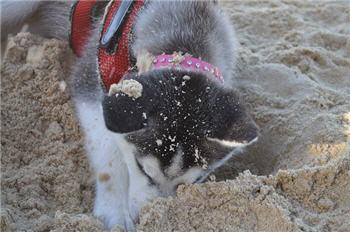 husky-in-sand